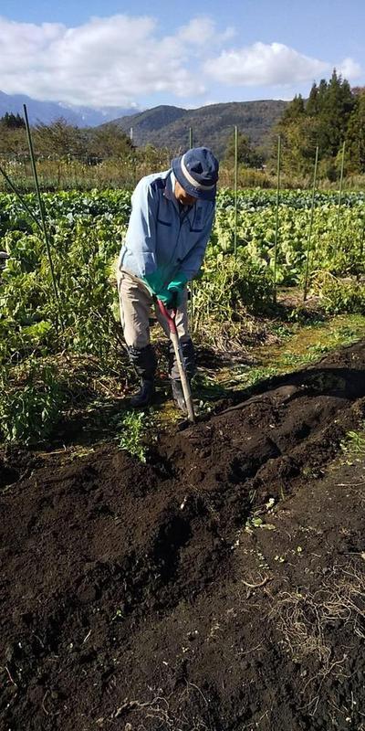 こんにゃく芋の収穫がはじまりました